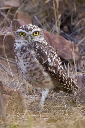 Burrowing Owl at Bosque de Pomac, Lambayeque, Peru (06-26-2010) 278-Edit