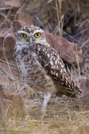 Burrowing Owl at Bosque de Pomac, Lambayeque, Peru (06-26-2010) 278-Edit