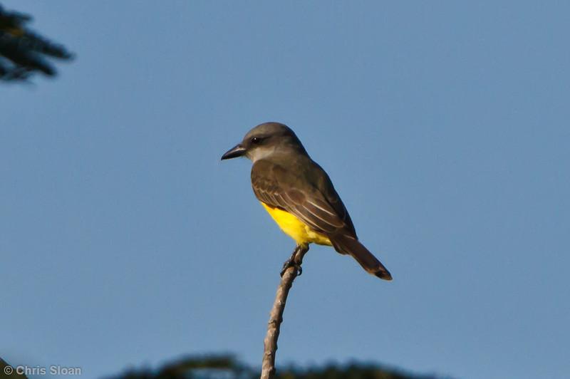 Tropical Kingbird at Juan Guerra, Tarapoto, Peru (07-04-2010)-56