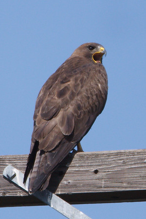 Swainson's Hawk dark morph adult (1) at Firebaugh, CA (07-18-2009)