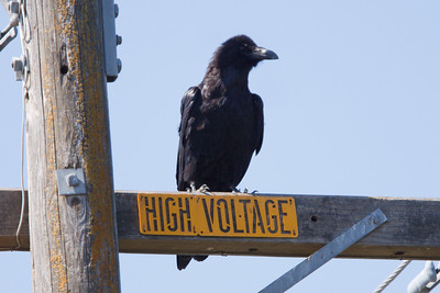 Common Raven at Firebaugh, CA (07-18-2009)