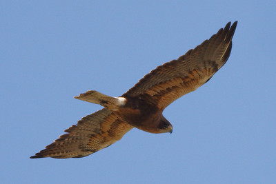 Swainson's Hawk dark morph adult (2) at Firebaugh, CA (07-18-2009-2