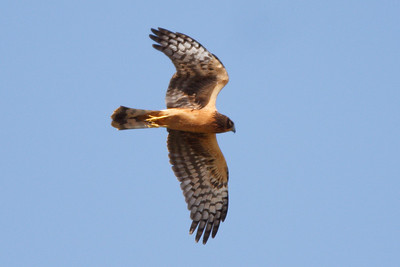 Northern Harrier juvenile (2) at Firebaugh, CA (07-18-2009)