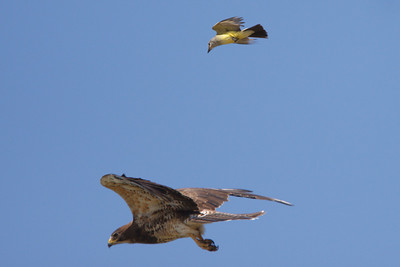Swainson's Hawk intermediate morph adult mobbed by Western Kingbird (2) at Firebaugh, CA (07-18-2009)