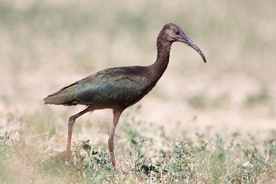 White-faced Ibis juvenile (1) at Firebaugh, CA (07-18-2009)