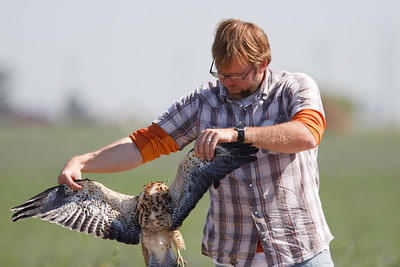 Swainson's Hawk juvenile roadkill held by Brian Sullivan (2) at Firebaugh, CA (07-18-2009)
