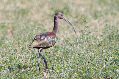 White-faced Ibis adult (2) at Firebaugh, CA (07-18-2009)