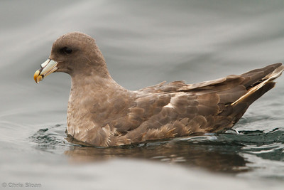Northern Fulmar at pelagic out of Bodega Bay, CA (10-15-2011) - 876