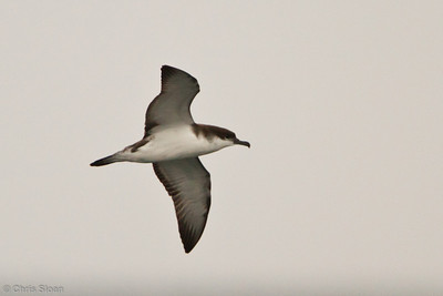 Buller's Shearwater at pelagic out of Bodega Bay, CA (10-15-2011) - 794