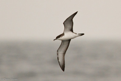 Buller's Shearwater at pelagic out of Bodega Bay, CA (10-15-2011) - 798