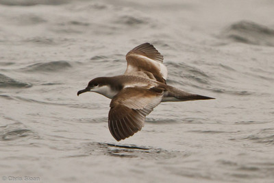 Buller's Shearwater at pelagic out of Bodega Bay, CA (10-15-2011) - 829