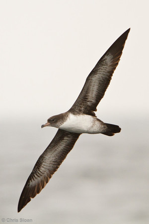 Pink-footed Shearwater at pelagic out of Bodega Bay, CA (10-15-2011) - 768