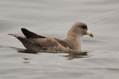 Northern Fulmar at pelagic out of Bodega Bay, CA (10-15-2011) - 862