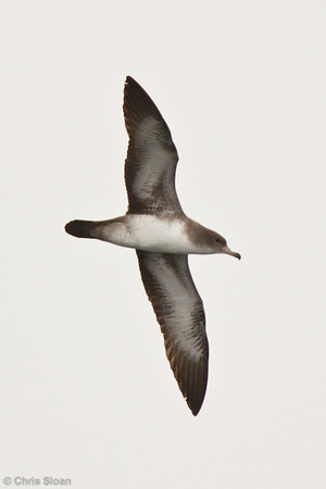 Pink-footed Shearwater at pelagic out of Bodega Bay, CA (10-15-2011) - 649