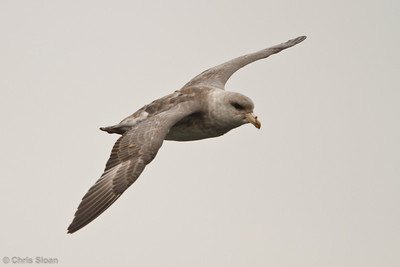 Northern Fulmar at pelagic out of Bodega Bay, CA (10-15-2011) - 740