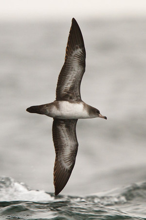 Pink-footed Shearwater at pelagic out of Bodega Bay, CA (10-15-2011) - 898