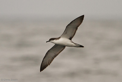 Buller's Shearwater at pelagic out of Bodega Bay, CA (10-15-2011) - 838
