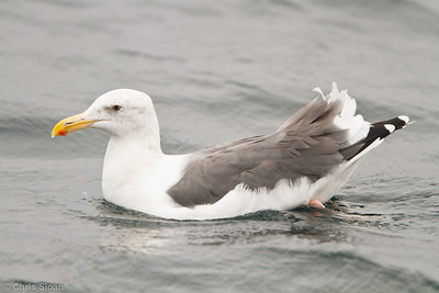 Western Gull adult at pelagic out of Bodega Bay, CA (10-15-2011) - 947