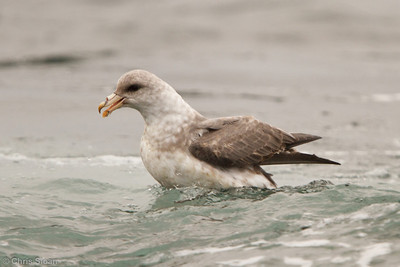Northern Fulmar at pelagic out of Bodega Bay, CA (10-15-2011) - 727