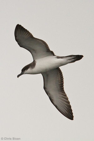 Buller's Shearwater at pelagic out of Bodega Bay, CA (10-15-2011) - 887