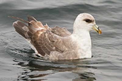 Northern Fulmar at pelagic out of Bodega Bay, CA (10-15-2011) - 906