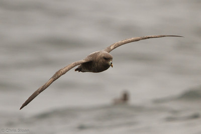 Northern Fulmar at pelagic out of Bodega Bay, CA (10-15-2011) - 689
