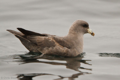 Northern Fulmar at pelagic out of Bodega Bay, CA (10-15-2011) - 861