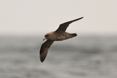 Northern Fulmar at pelagic out of Bodega Bay, CA (10-15-2011) - 692