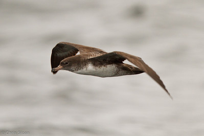 Pink-footed Shearwater at pelagic out of Bodega Bay, CA (10-15-2011) - 750