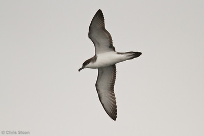 Buller's Shearwater at pelagic out of Bodega Bay, CA (10-15-2011) - 886