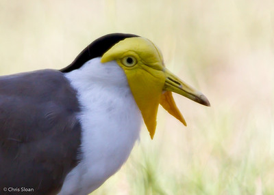 Masked Lapwing at Pacific Adventist University, Port Moresby, Papua New Guinea (09-29-2013) 009-18