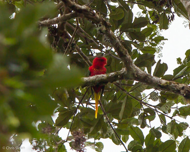 Fairy Lorikeet at Upper Tari Valley, Papua New Guinea (10-05-2013) 1667