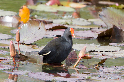 Dusky Moorhen at Pacific Adventist University, Port Moresby, Papua New Guinea (09-29-2013) 009-294