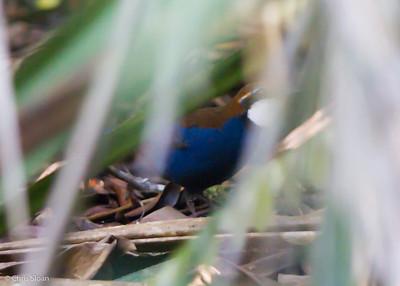 Chestnut-backed Jewel-Babbler at Varirata National Park, Papua New Guinea (10-15-2013) 020-6