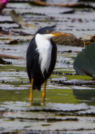 Pied Heron at Pacific Adventist University, Port Moresby, Papua New Guinea (09-29-2013) 009-176