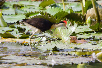 Comb-crested Jacana at Pacific Adventist University, Port Moresby, Papua New Guinea (09-29-2013) 009-120