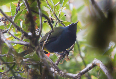 Crested Berrypecker at Upper Tari Valley, Papua New Guinea (10-06-2013) 1727