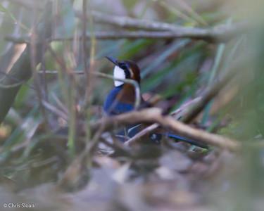 Chestnut-backed Jewel-Babbler at Varirata National Park, Papua New Guinea (10-15-2013) 020-10
