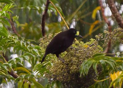 Short-tailed Paradigalla at Ambua Lodge, Southern Highlands Province, Papua New Guinea (10-04-2013) 1594