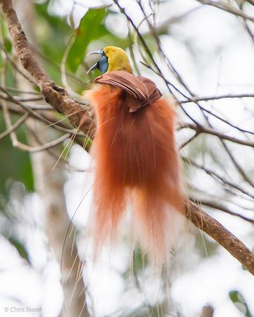 Raggiana Bird-of-Paradise male at Varirata National Park, Papua New Guinea (10-14-2013) 019-41
