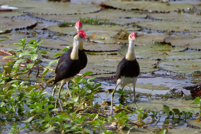 Comb-crested Jacana at Pacific Adventist University, Port Moresby, Papua New Guinea (09-29-2013) 009-213