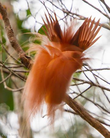 Raggiana Bird-of-Paradise male at Varirata National Park, Papua New Guinea (10-14-2013) 019-32