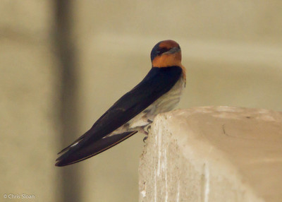 Pacific Swallow at Pacific Adventist University, Port Moresby, Papua New Guinea (09-29-2013) 009-237