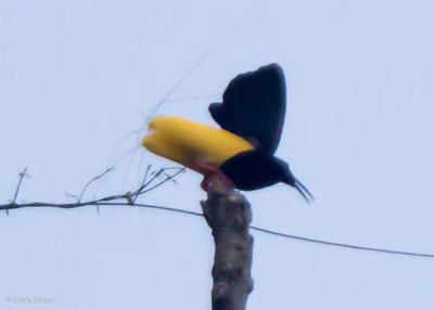 Twelve-wired Bird-of-Paradise male at Kwatu Lodge, Papua New Guinea (10-12-2013) 017-73
