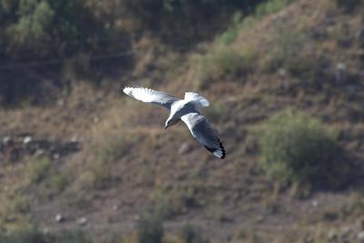Andean Gull adult basis (2) at Huacarpay Lakes, Peru (2008-07-04)