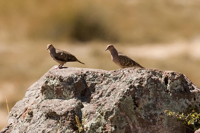 Bare-faced Ground-Doves (1) at Huacarpay Lakes, Peru (2008-07-04)