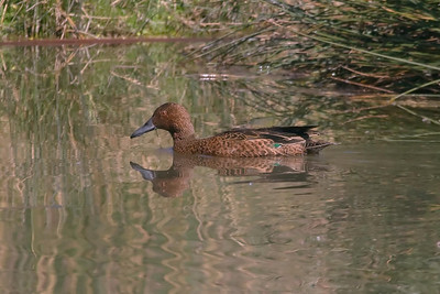 Cinnamon Teal at Huacarpay Lakes, Peru (2008-07-04)