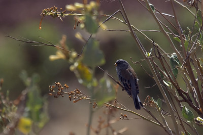 Band-tailed Seedeater male at Huacarpay Lakes, Peru (2008-07-04)