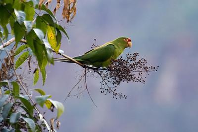 Mitred Parakeet mitrata below Machu Picchu, Peru (2008-07-05).psd