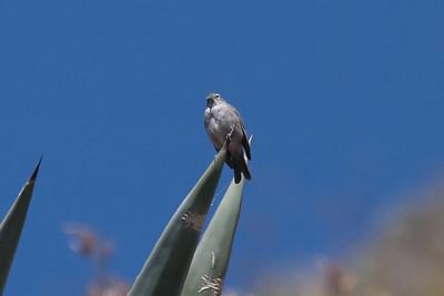 Ash-breasted Sierra-Finch at Huacarpay Lakes, Peru (2008-07-04)